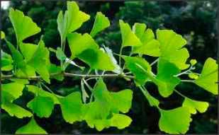 Las hojas de Ginkgo Biloba